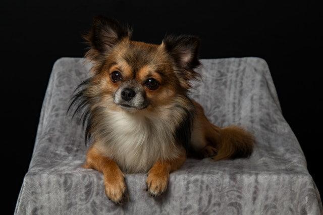 Îngrijirea și toaletarea unui câine de talie mica