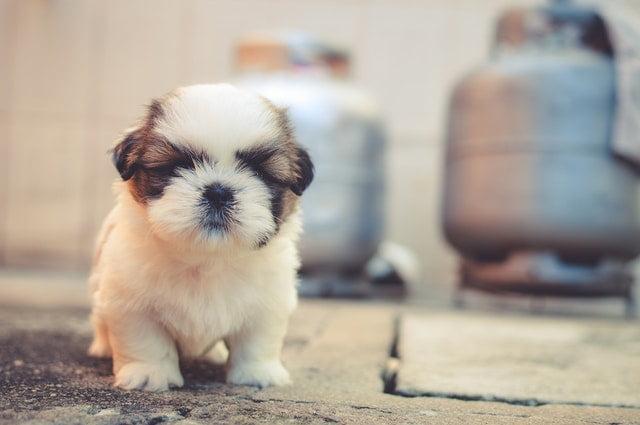 Ce mănâncă un câine de talie mică